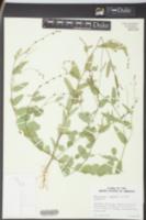 Alysicarpus vaginalis image