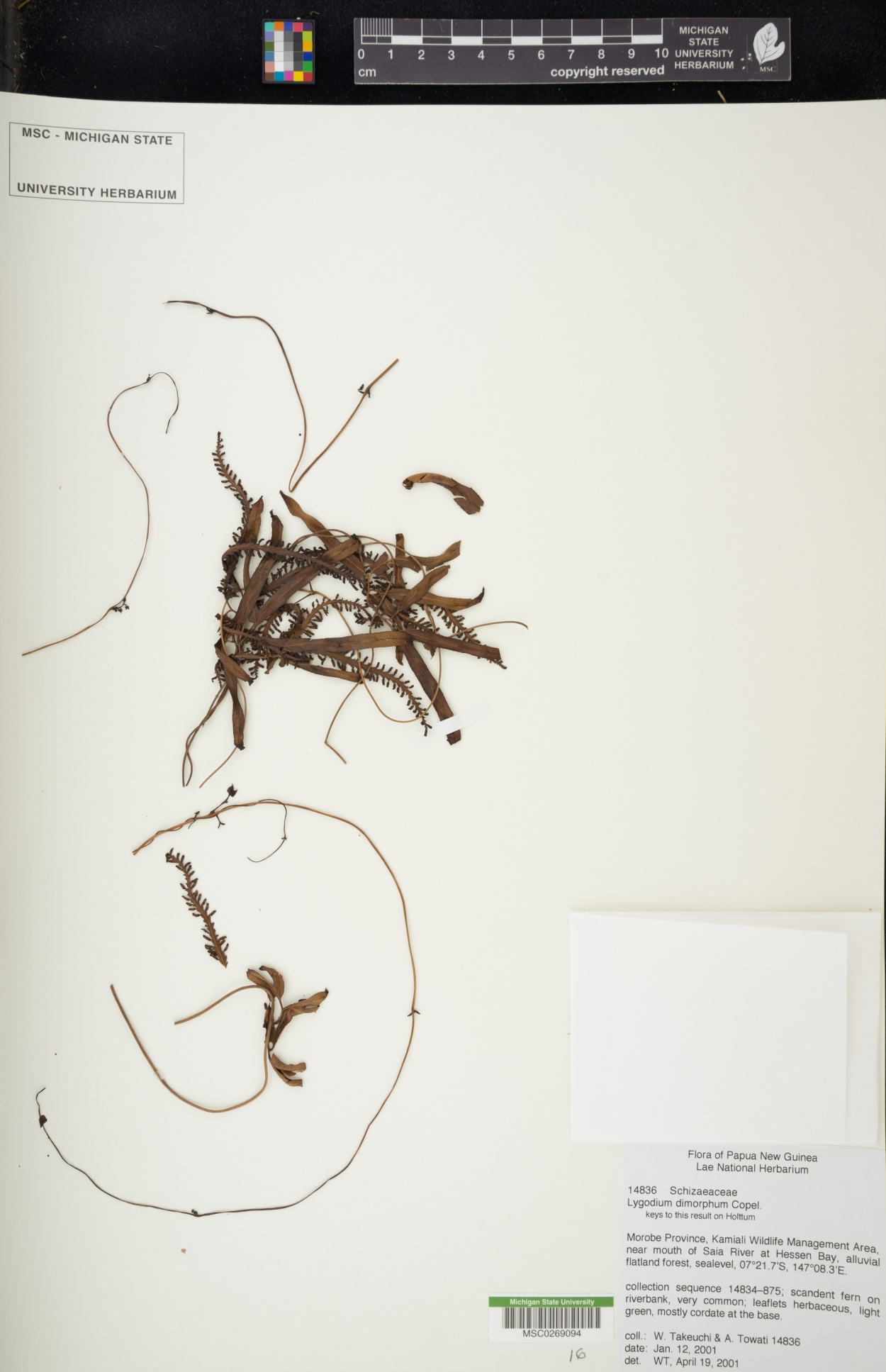 Lygodium dimorphum image