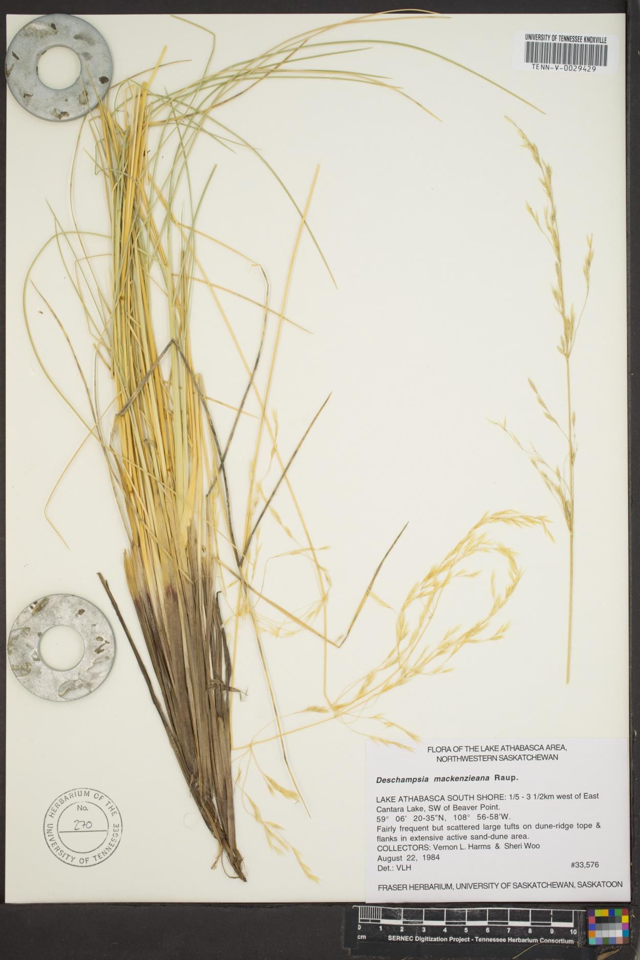 Deschampsia mackenzieana image