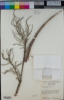 Image of Brahea aculeata