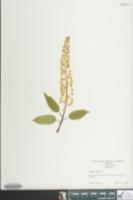 Image of Prunus padus