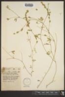 Zornia bracteata image