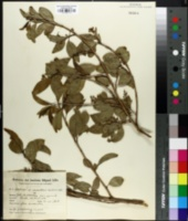 Image of Cestrum euanthes