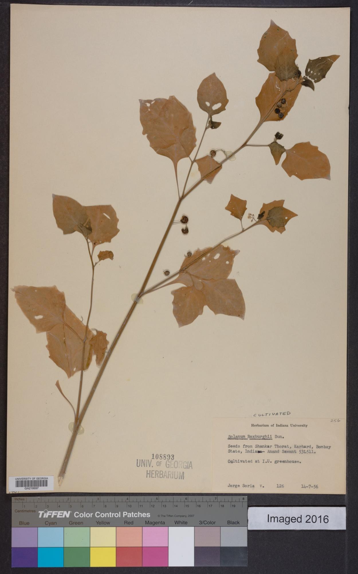 Solanum roxburghii image