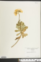 Chrysanthemum nipponicum image