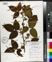 Image of Rubus bogotensis