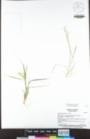 Image of Agrostis avenacea