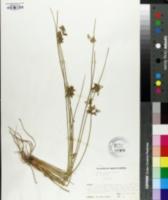 Image of Juncus decipiens