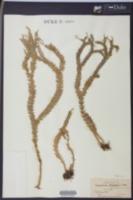 Image of Huperzia phlegmaria