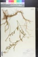 Atriplex patula image