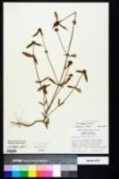Mitracarpus hirtus image
