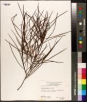 Image of Acacia longissima