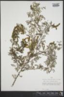 Image of Senegalia roemeriana