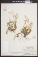 Image of Phlox nivalis