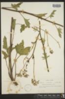 Image of Cacalia diversifolia