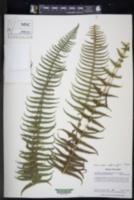 Amauropelta amphioxypteris image