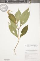 Image of Psychotria berteroana