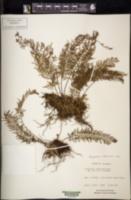 Pleopeltis lindeniana image