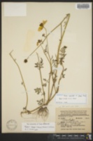 Image of Bidens sharpii