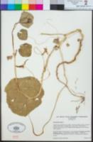 Tropaeolum majus image