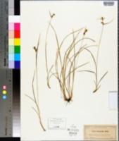 Carex dasycarpa image
