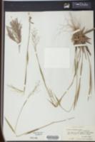 Panicum roanokense image