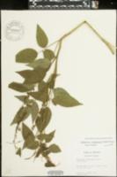 Orbexilum onobrychis image