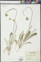 Chaptalia tomentosa image