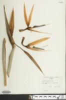 Image of Strelitzia reginae