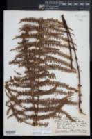Amauropelta globulifera image