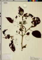 Morus rubra image