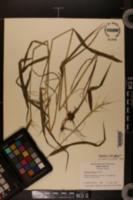 Hystrix patula var. bigeloviana image