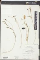 Crotalaria purshii image