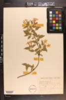 Jasminum beesianum image