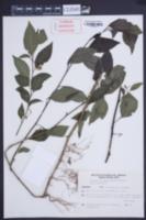 Image of Solanum trachytrichium