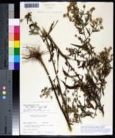 Symphyotrichum lanceolatum image