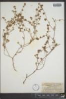 Chorizanthe cuspidata image