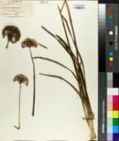 Allium senescens image