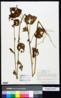 Image of Hibiscus mastersianus