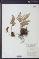 Image of Anemia ferruginea