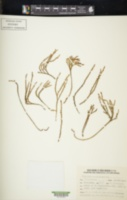 Psilotum complanatum image