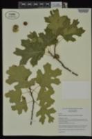 Quercus acerifolia image
