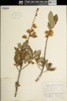 Rhododendron albiflorum image