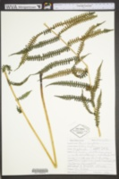 Deparia acrostichoides image