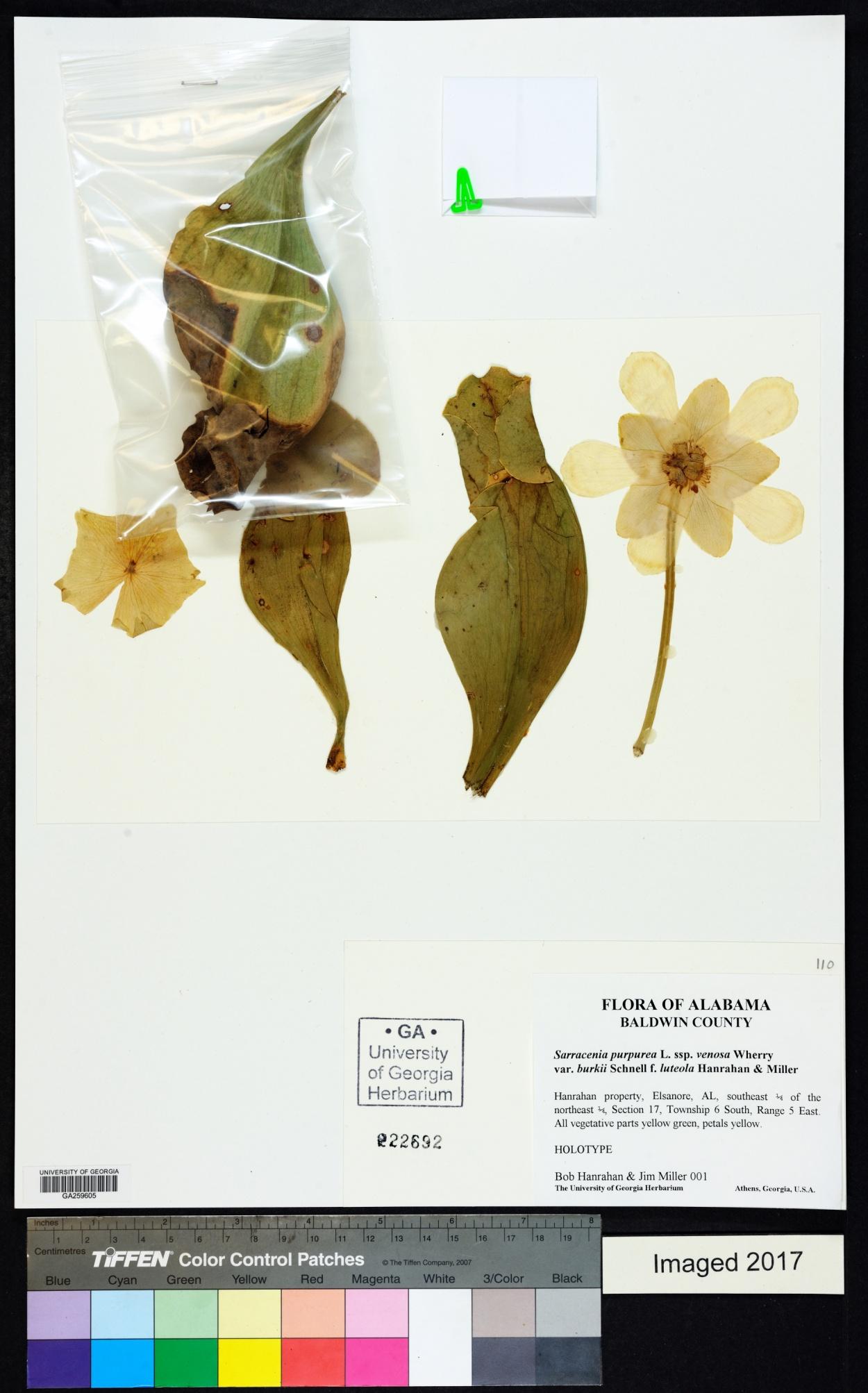 Sarracenia purpurea f. luteola image