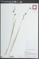Calopogon pallidus image