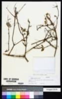 Image of Hyptis laniflora