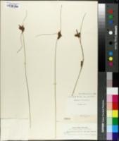 Carex extensa image