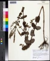 Mentha × rotundifolia image