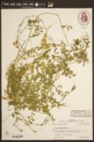 Vicia ludoviciana var. ludoviciana image